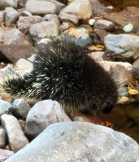 Porcupine drinking from a river